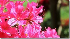 azalea-1387501_1280