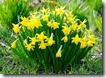 daffodils-4912672_1280