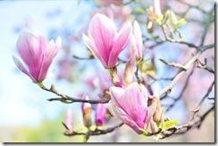 magnolia-4186037_1280