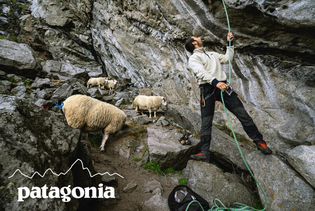 Patagonia sheep